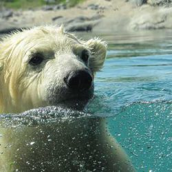 Биологи: скоро глобальное потепление поставит белых медведей под угрозу вымирания