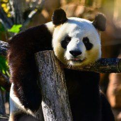 Старейший в мире самец панды умер, оставив 130 потомков