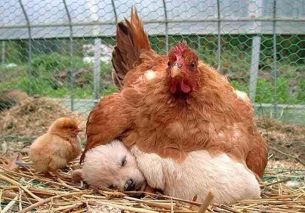 Животные, которых усыновили животные других видов » Новости со всего мира,Интересные новости,Интересные факты,Новости России сегодня,.