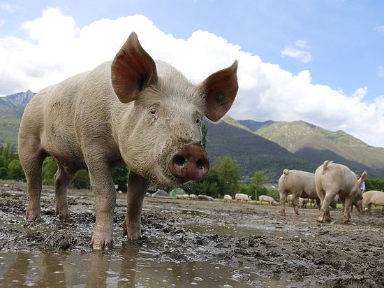 Ученые впервые создали гибрид человека и свиньи