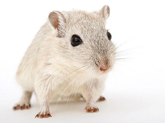 Орган одного животного впервые удалось вырастить в теле другого