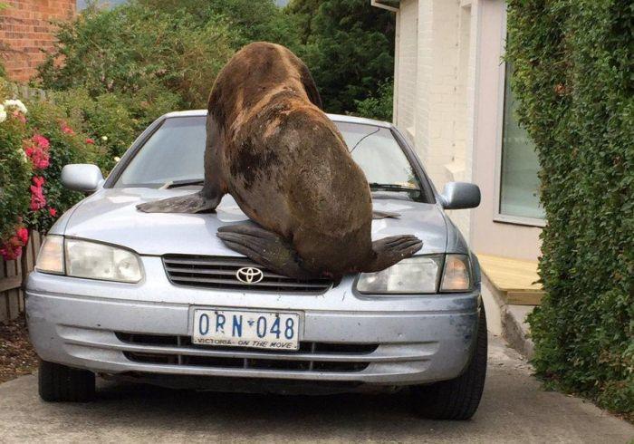 В Австралии тюлень-хулиган повредил автомобиль » Новости со всего мира,Интересные новости,Интересные факты,Новости России сегодня,.