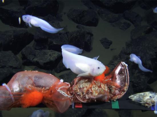 Рыбу, обнаруженную на рекордной глубине, запечатлели на видео