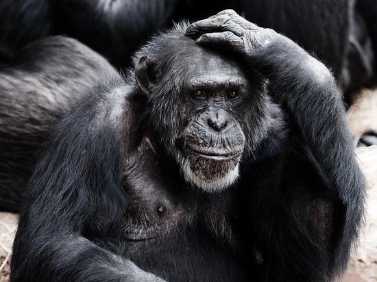 Шимпанзе оказались подвержены болезни Альцгеймера