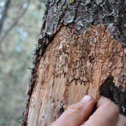 Обработка деревьев от короеда. Что нужно знать?