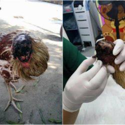 Эта курица уже больше недели живет без головы