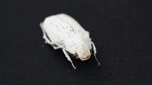 """Жук Cyphochilus стал """"прототипом"""" для создания самого белого материала на свете"""