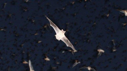 """Chirocopter - беспилотник, который является """"своим"""" внутри стаи летучих мышей"""
