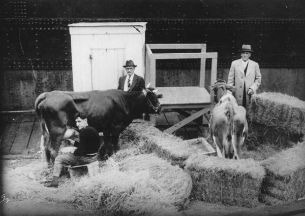 «Коровья экспедиция» в Антарктиду 1933 года