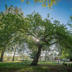 Как яблоня Исаака Ньютона распространилась по всему миру