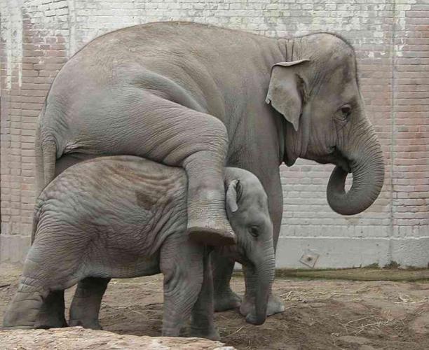Аномалия: Вот почему все слоны будут рождаться без бивней