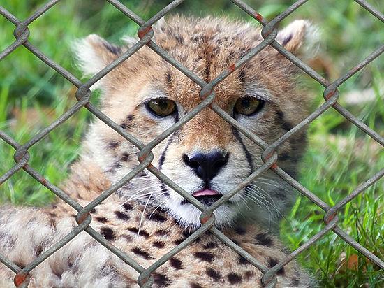 Зоологи предрекли скорое вымирание гепардов