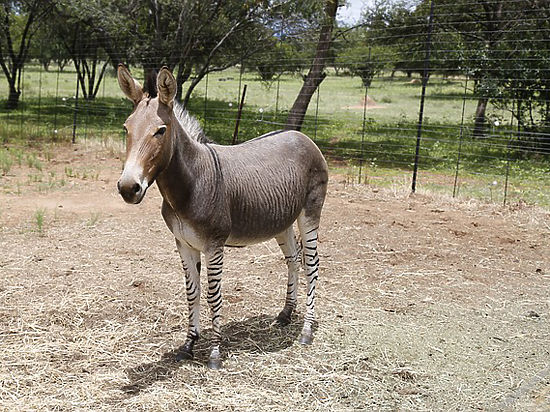 На Алтае найдены останки животного, похожего на зебру и осла