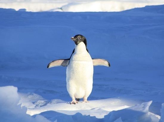 Зоологи нашли среди пингвинов маменькиных сынков-переростков