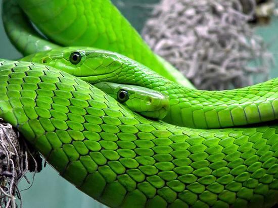 Зоологи выяснили, на что готовы змеи ради секса