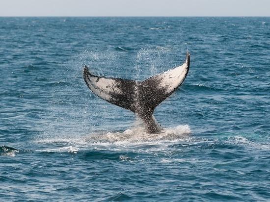 Подробности: кит, застрявший в Приморской реке, проходил «обряд очистки»