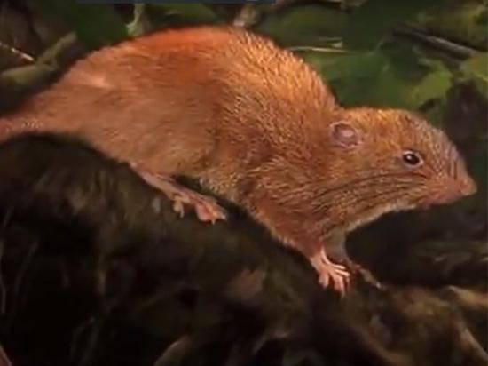 На Соломоновых островах найдена гигантская крыса из легенд