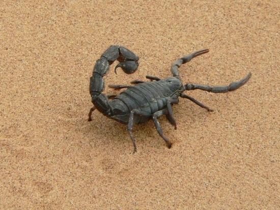 Скорпионы оказались способны выбирать яд под конкретные нужды