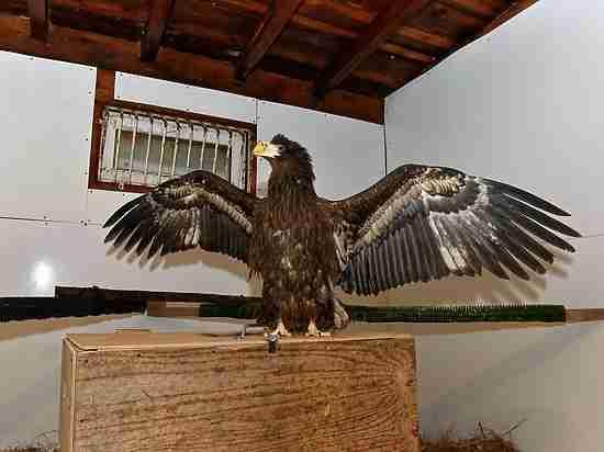 Уникальная операция на Сахалине: московский орнитолог спас зрение краснокнижному орлану