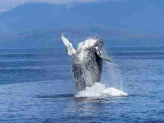 Зоологи узнали, почему киты стали крупнейшими животными