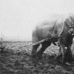 Как пахали на слонах