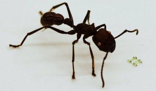 Самый маленький четвероногий робот, меньший, чем голова живого муравья
